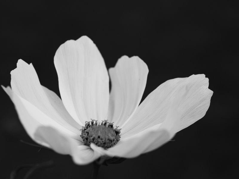 50mm F2 Macro - Fleurs du  jardin 2012-08-04_Cosmos_01_NB