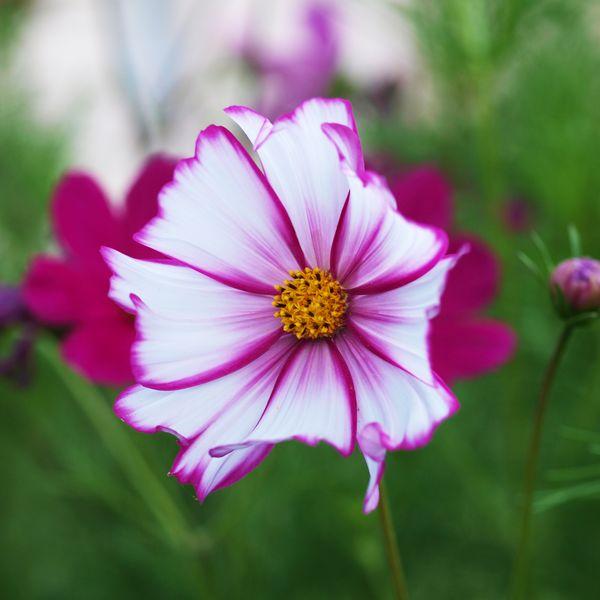 50mm F2 Macro - Fleurs du  jardin 2012-08-04_Cosmos_02