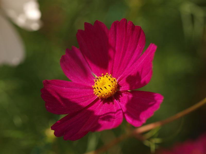 50mm F2 Macro - Fleurs du  jardin 2012-08-04_Cosmos_03