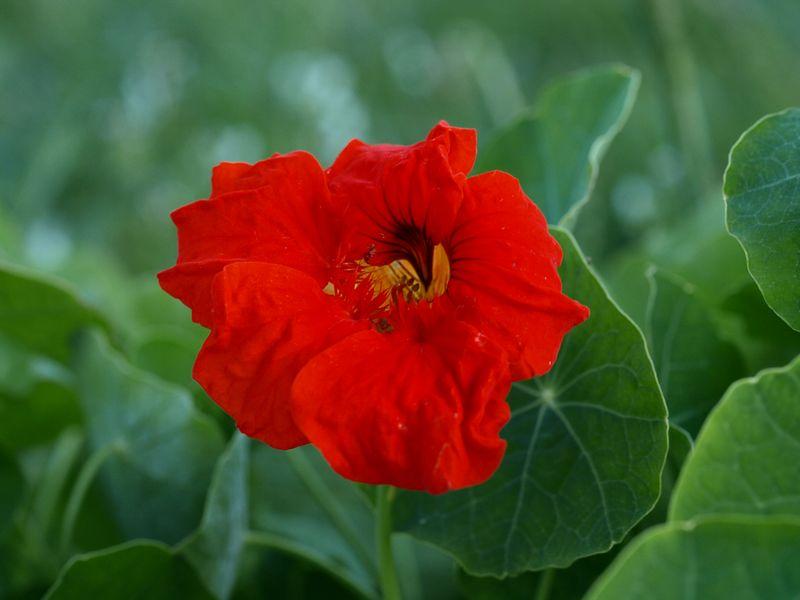 50mm F2 Macro - Fleurs du  jardin 2012_07_08_Capucine