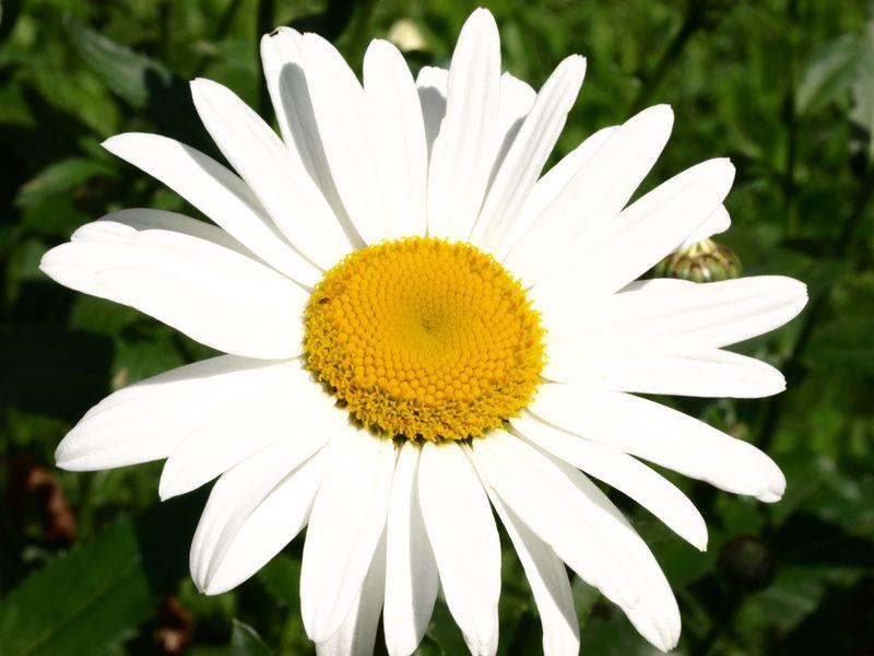 50mm F2 Macro - Fleurs du  jardin 2012_07_08_Marguerite