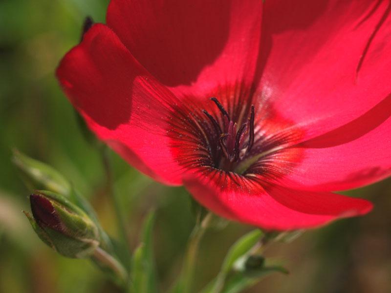 50mm F2 Macro - Fleurs du  jardin 2012_08_01_Lin