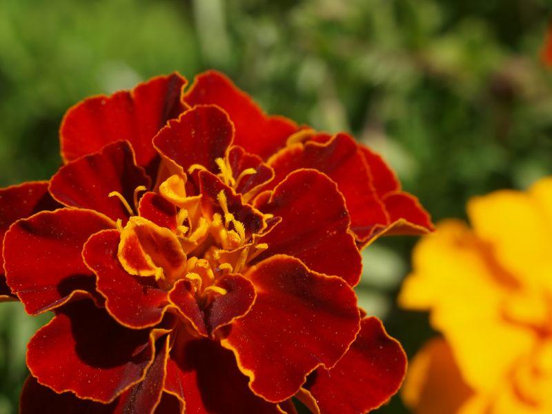 50mm F2 Macro - Fleurs du  jardin 2012_08_01_Oeillet1